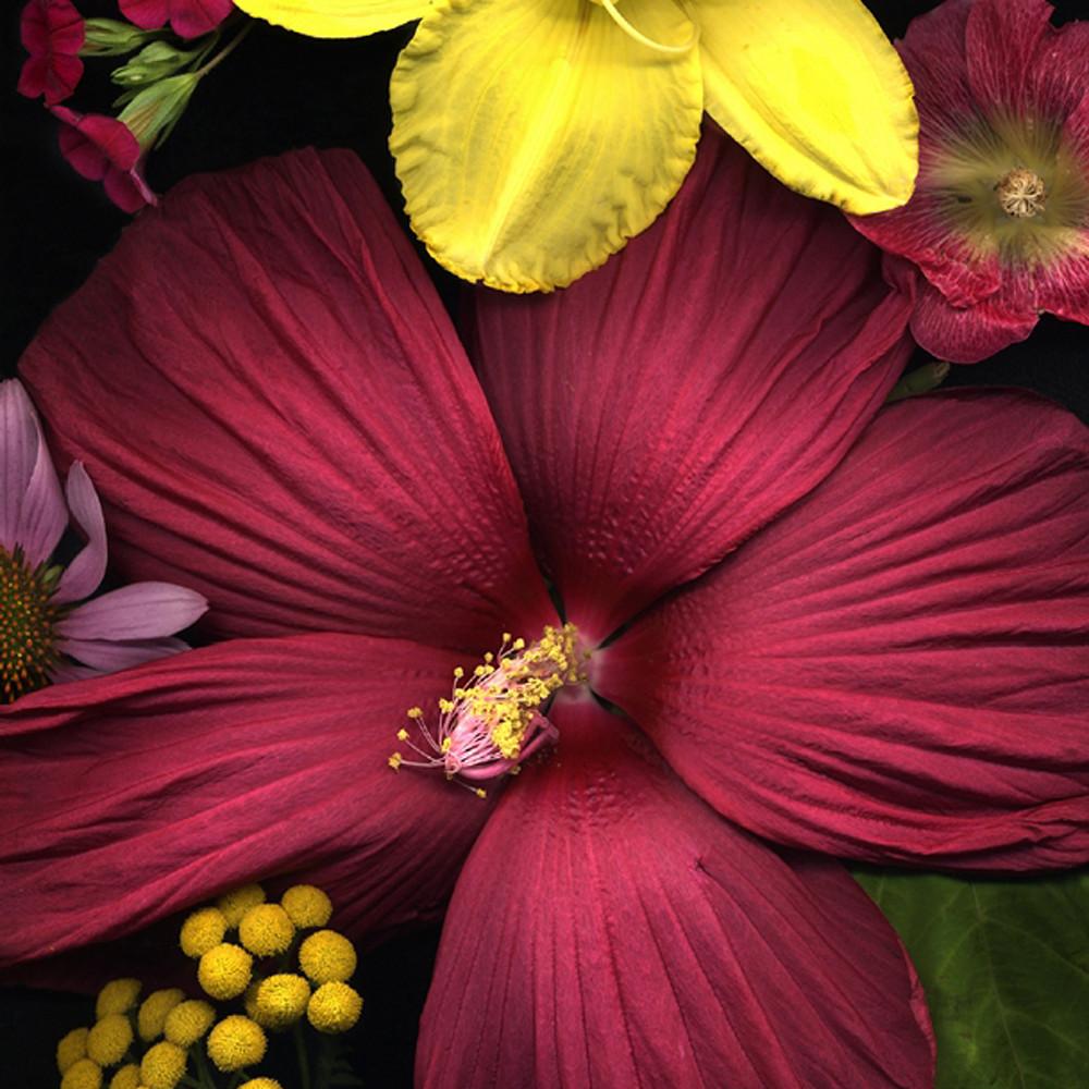 Hibiscus glory koral martin zejwop