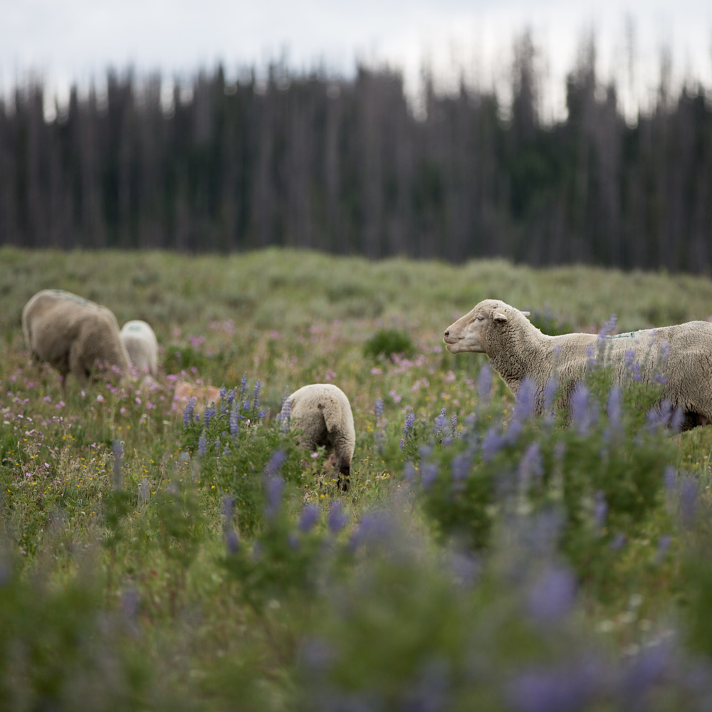 Utah higland herd rxm4i1