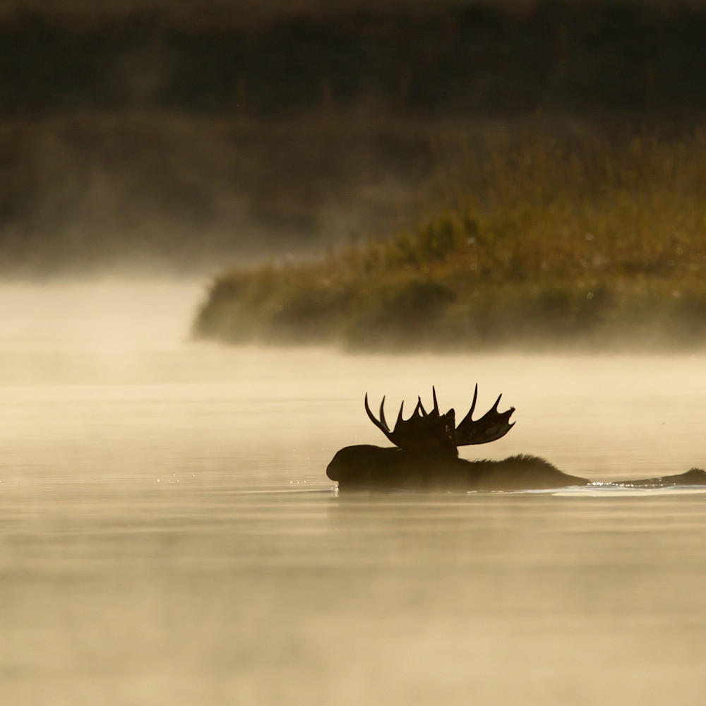 Moose silhouette1 bez2fr