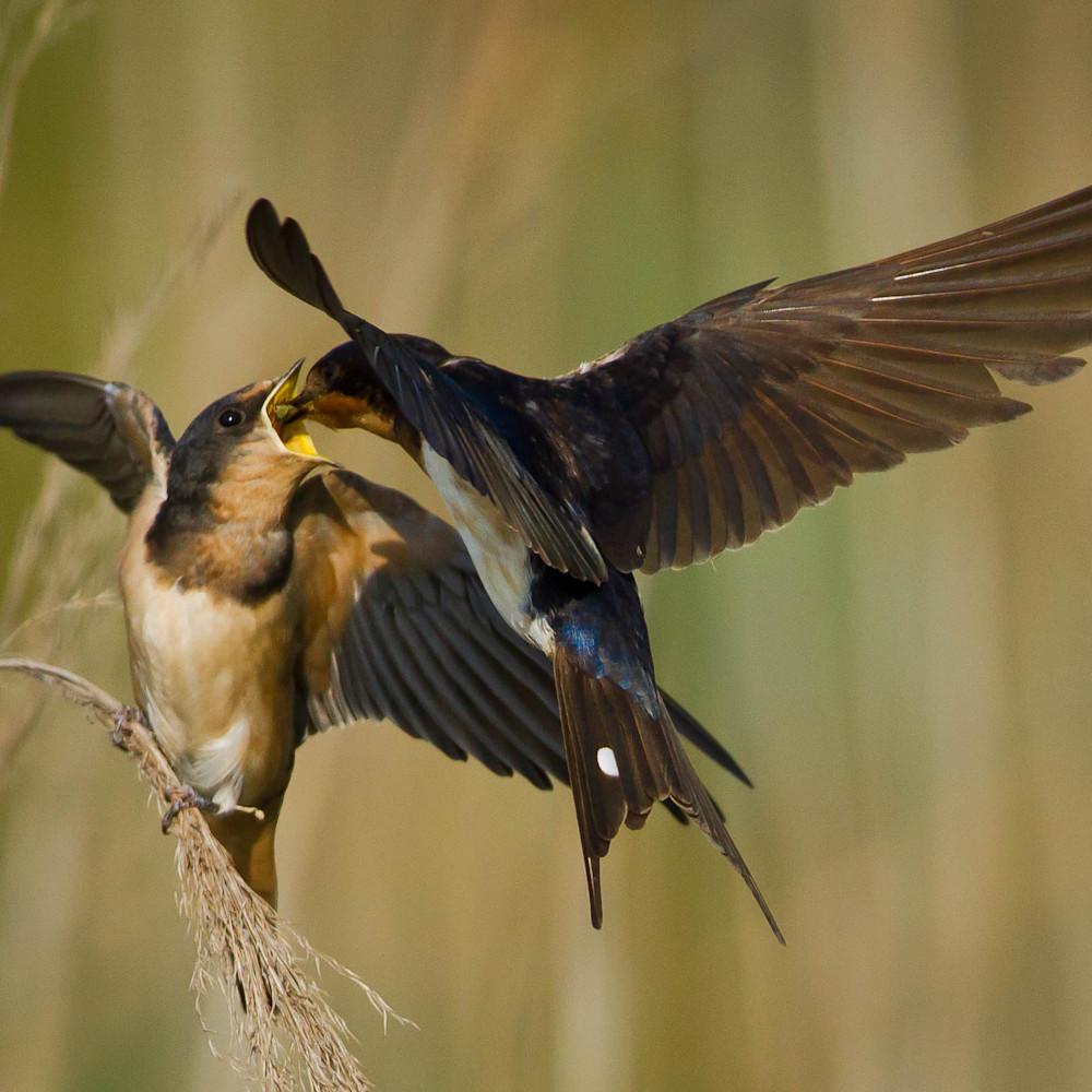 Barn swallows hirundo rustica  9038 ww6gdi
