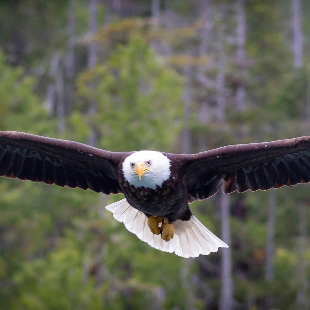 Master eagle in flight epgvr2