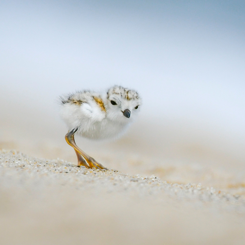 Piping plover chick 4 u0bk6h
