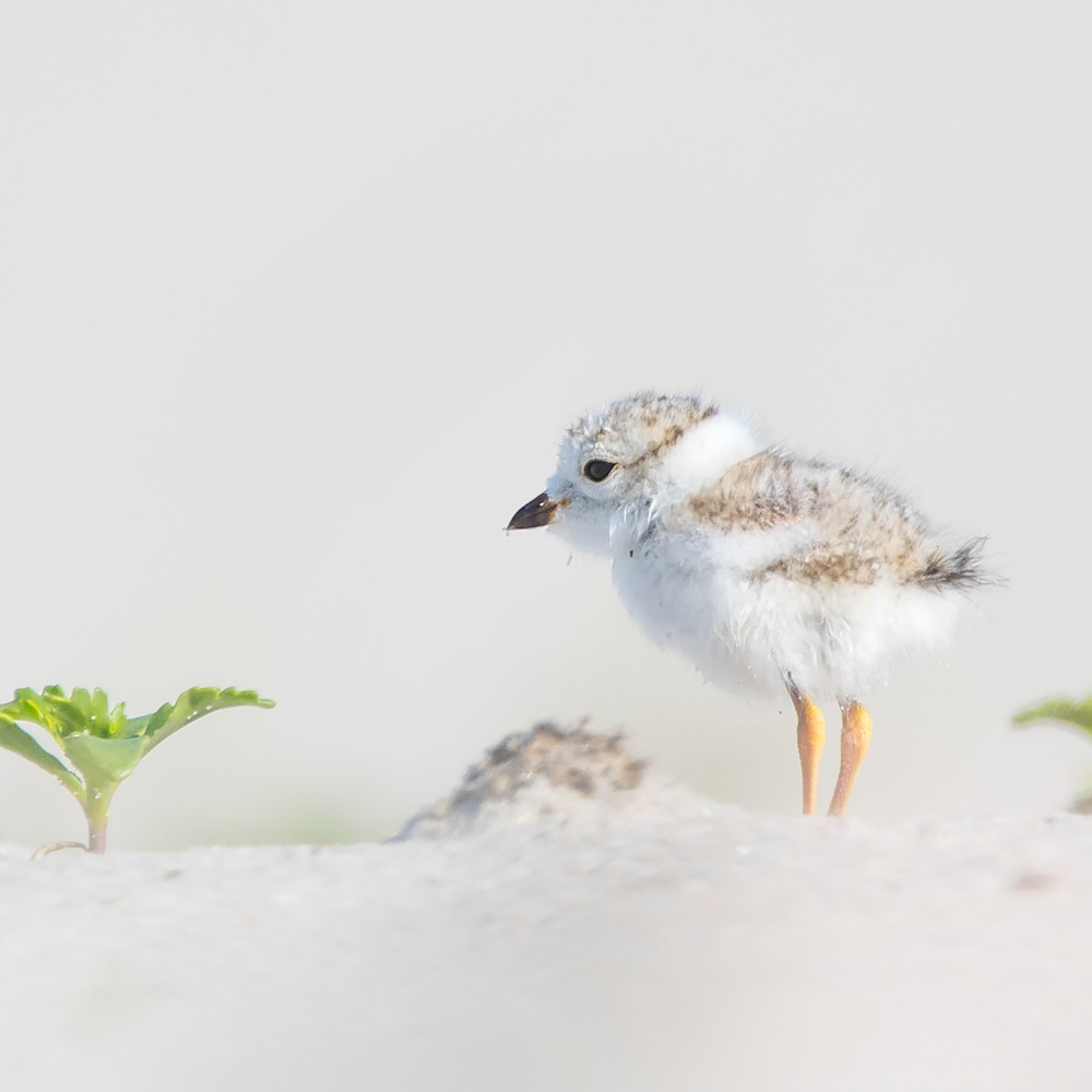 Piping plover chick 3 fxlrlg