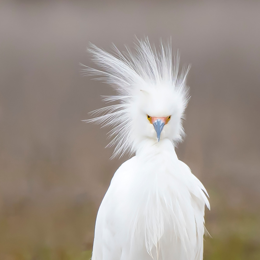 Snowy egret   that hair qboxnx