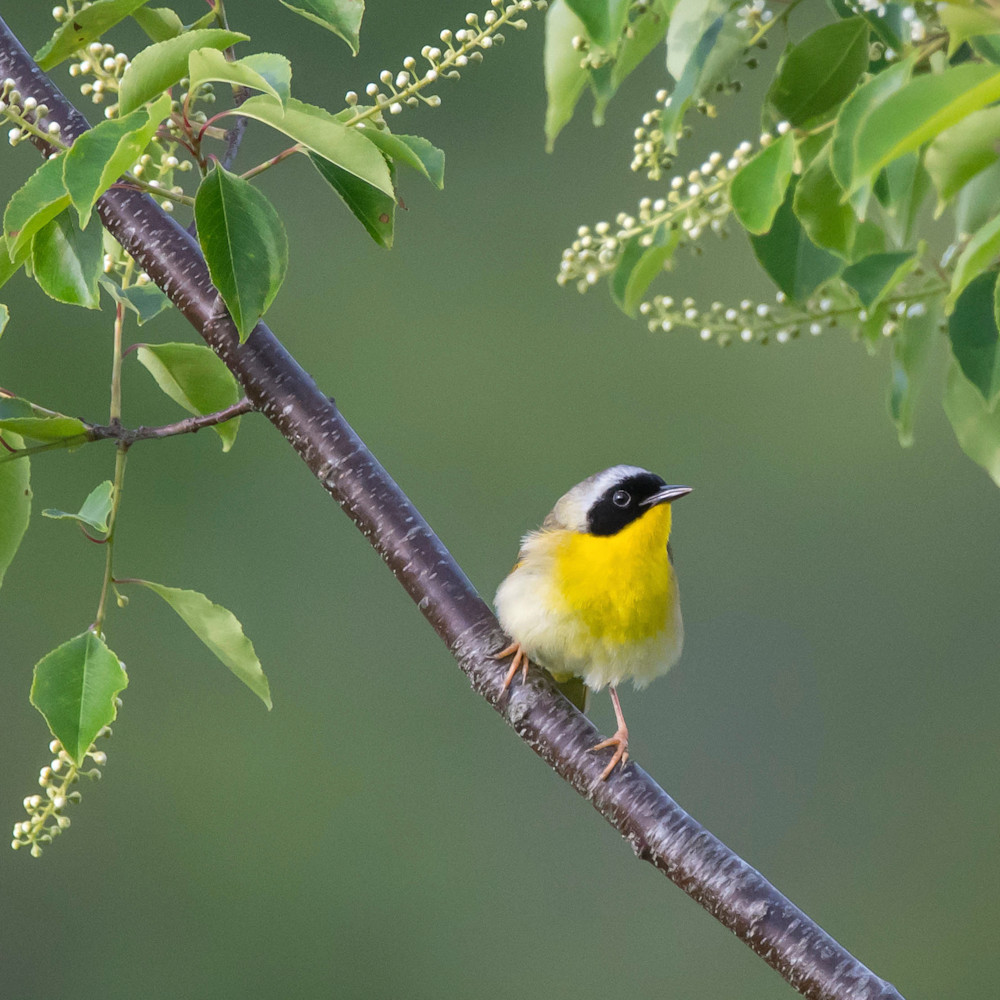 Common yellowthroat   perched on branch vpcoq9