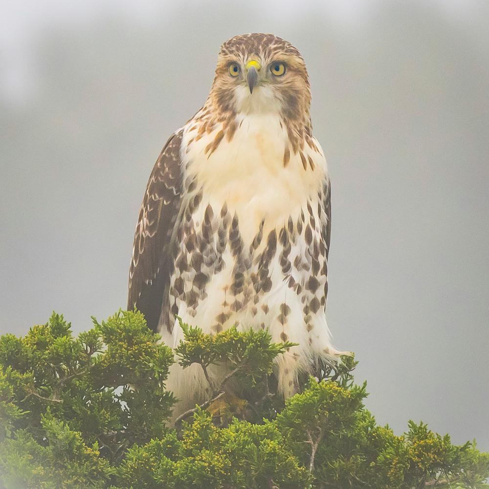 Redtailed hawk in fog khvlbb