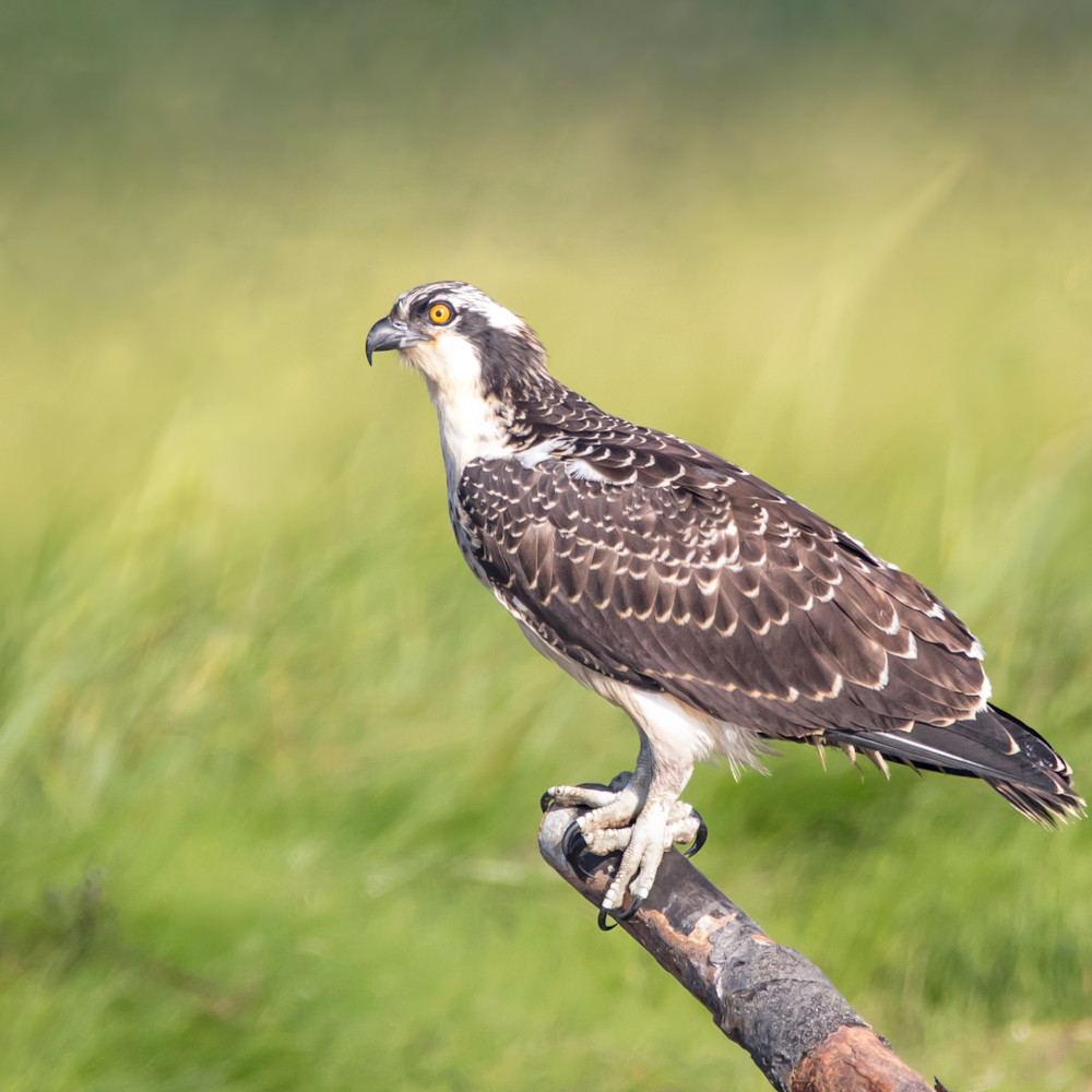 Osprey   at forest beach x1hped