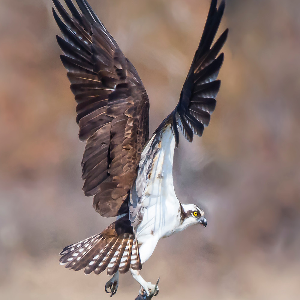 Osprey  wing display fbunnu