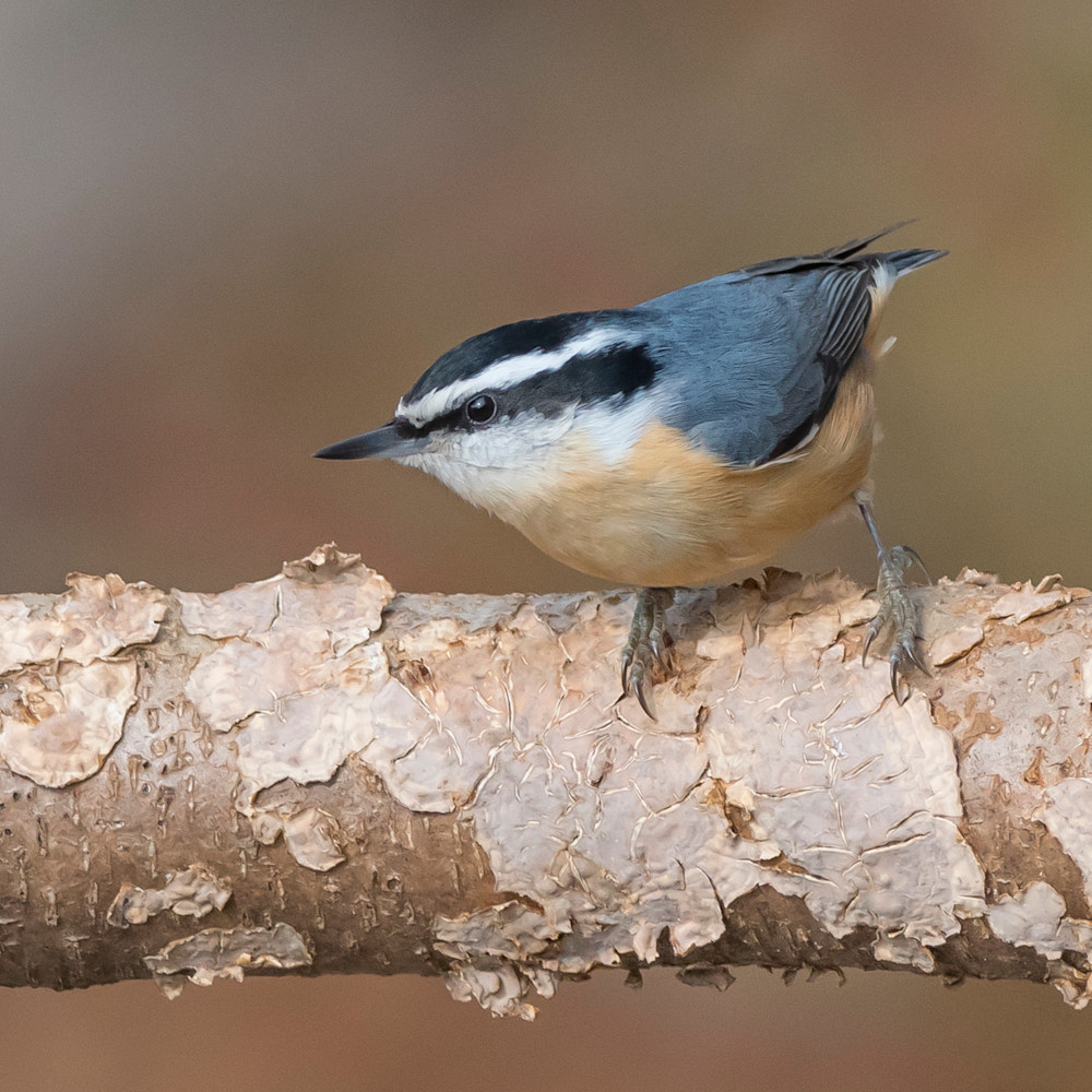 Red breasted nuthatch qsfhgn