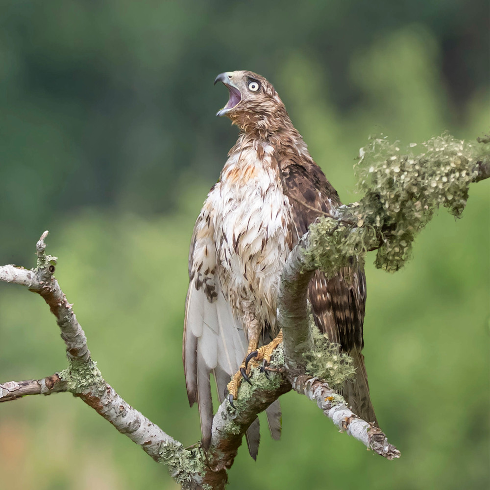Red  tailed hawk   calling b1tyhh