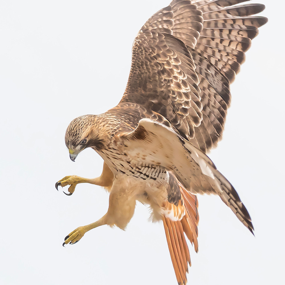 Red tailed hawk   eye the target jpsqmy