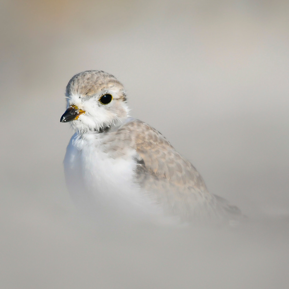 Young piping plover copy zrtve6