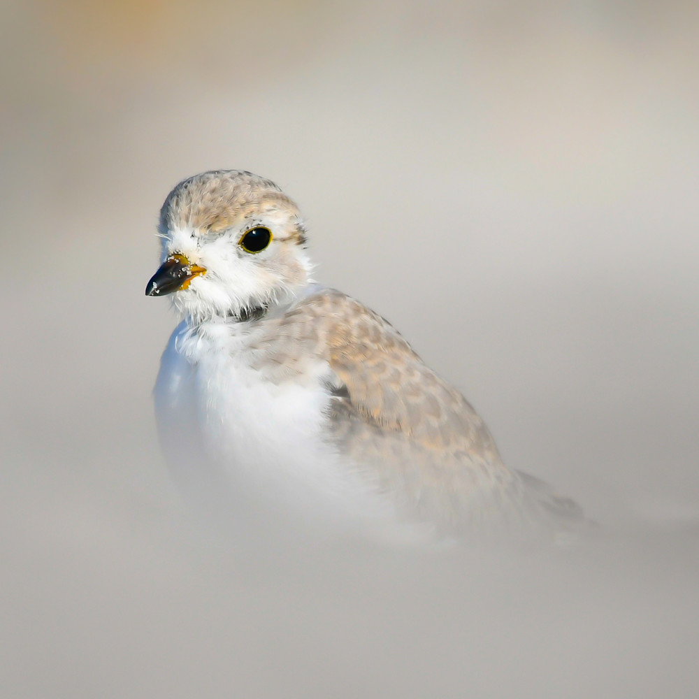 Young piping plover sup6ln