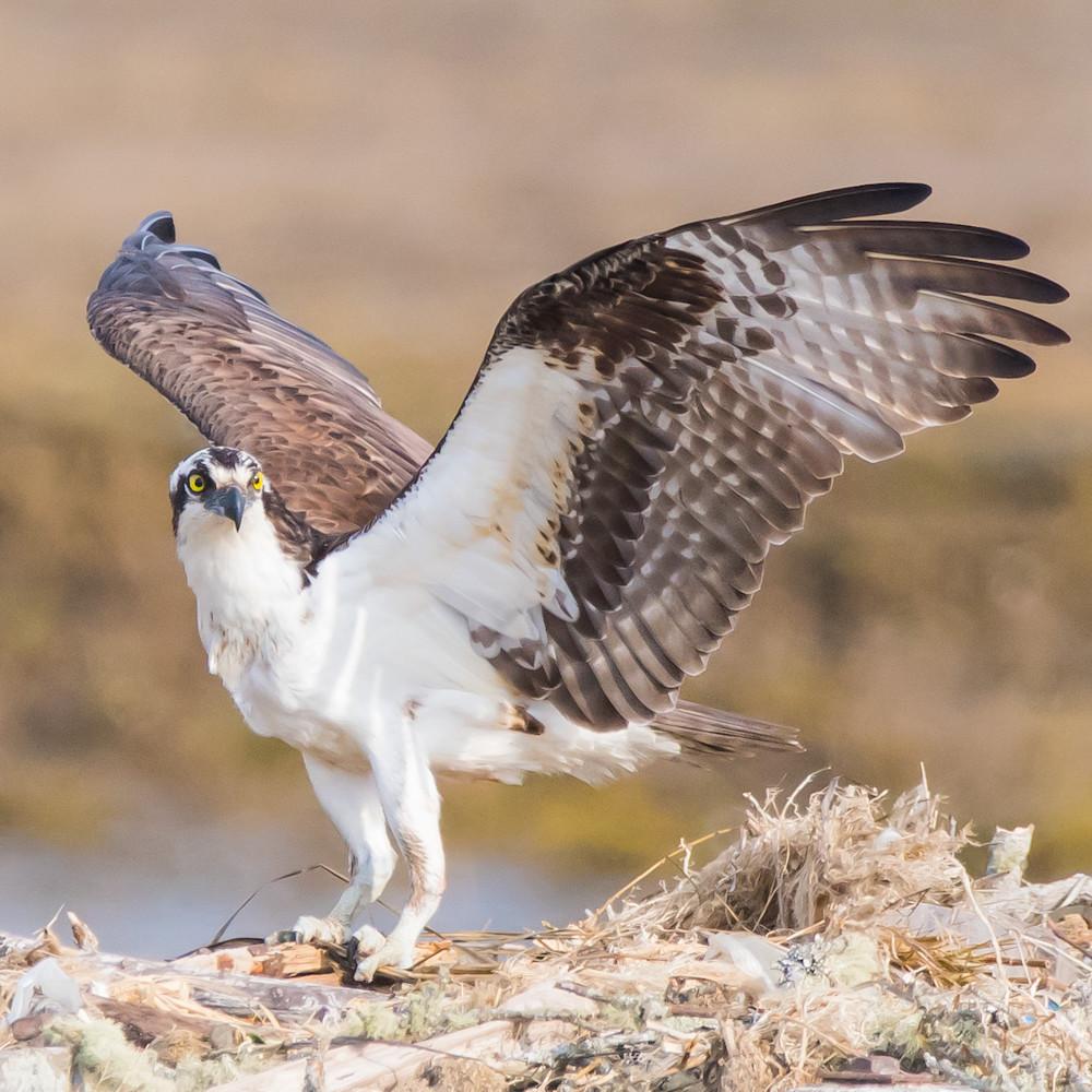 Osprey landed 2018 edit hs9991