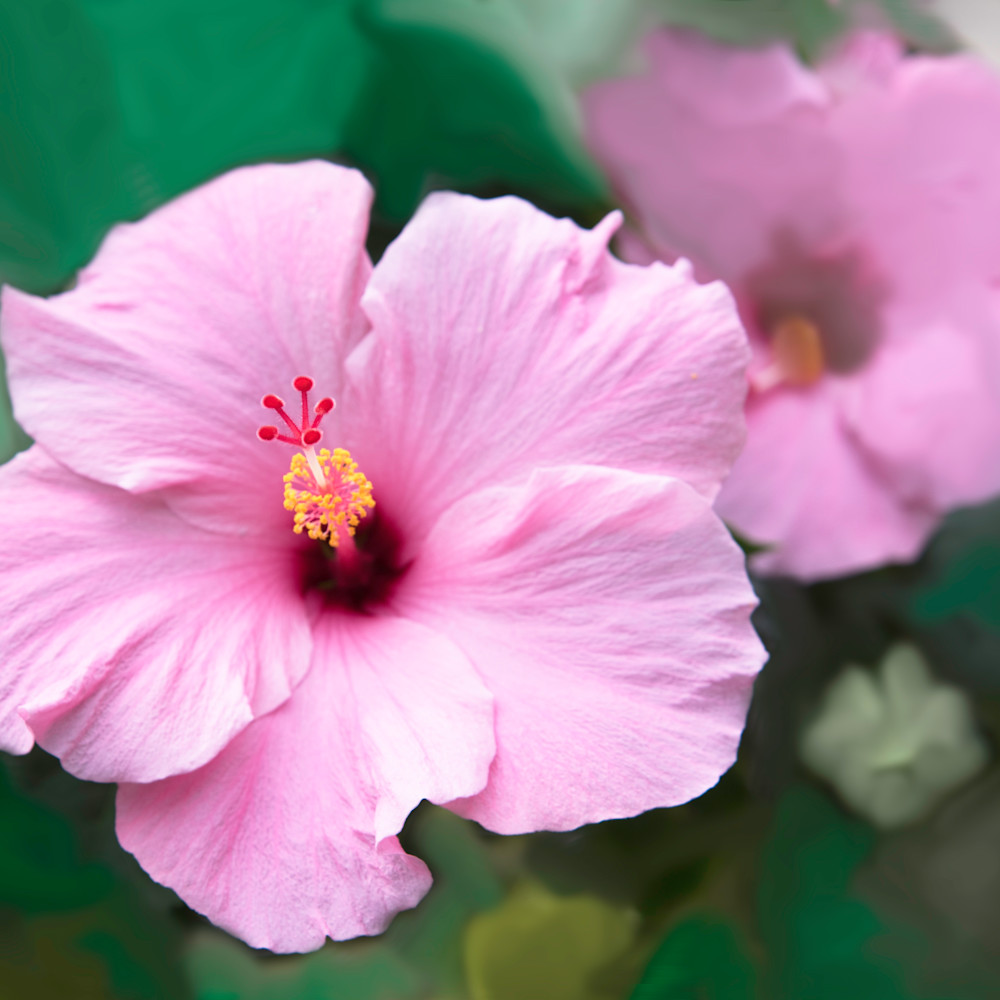 Pink hibiscus h8smmf