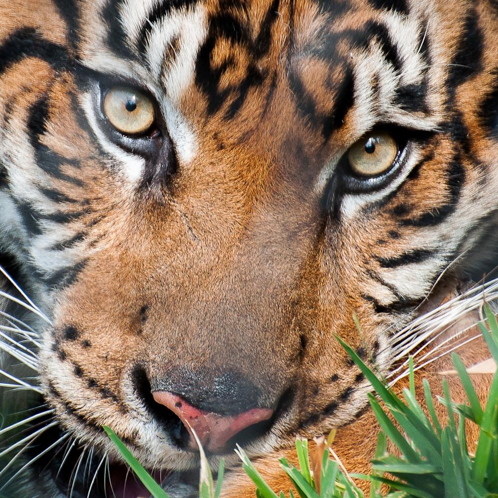 Tiger eyes uecnmz