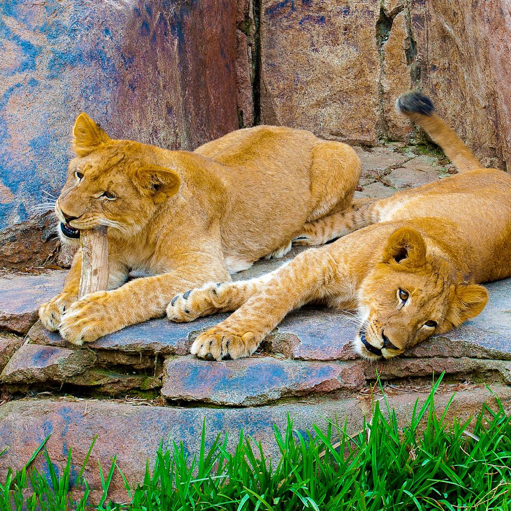 Lion cubs wsxqy2