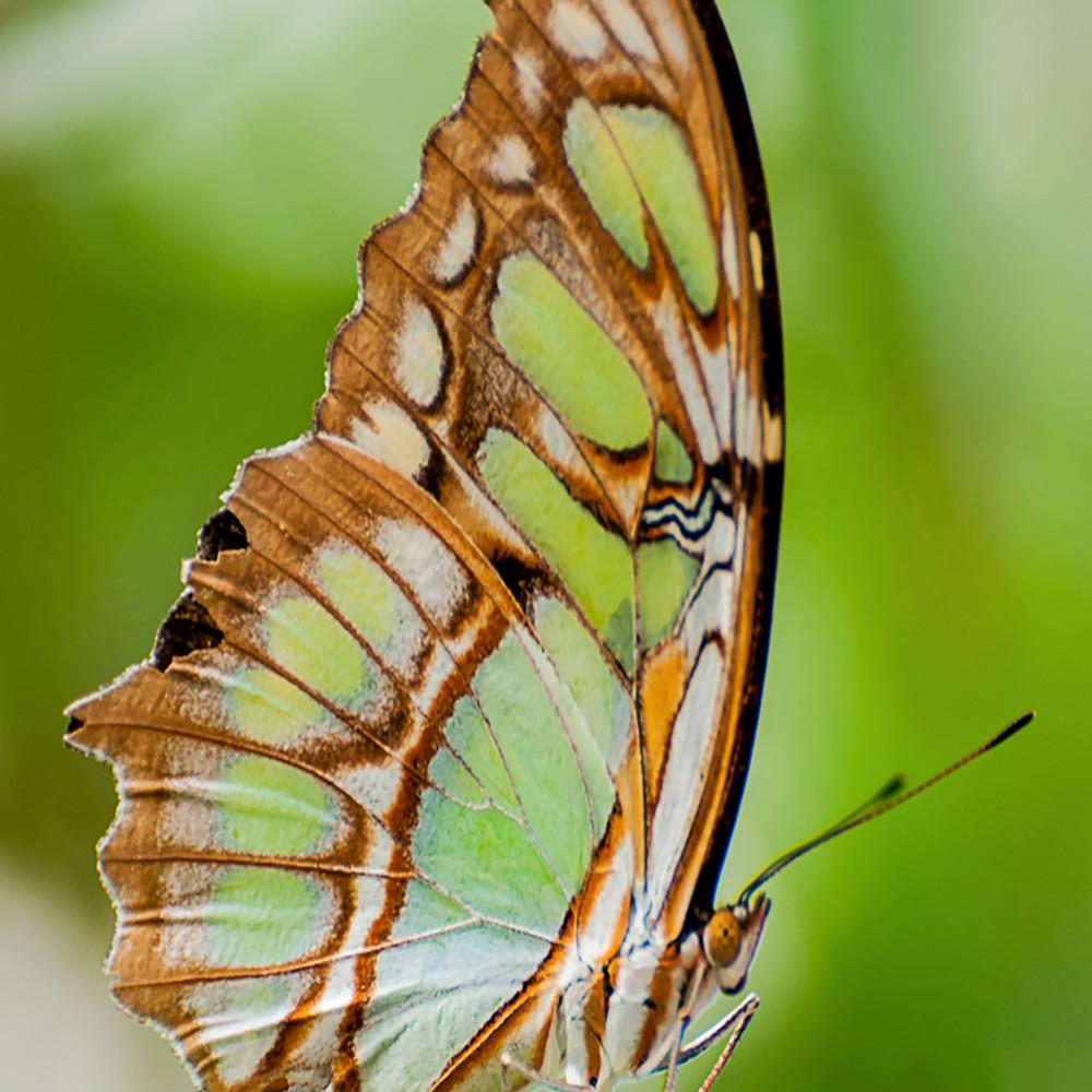 Green butterfly wb leumz7