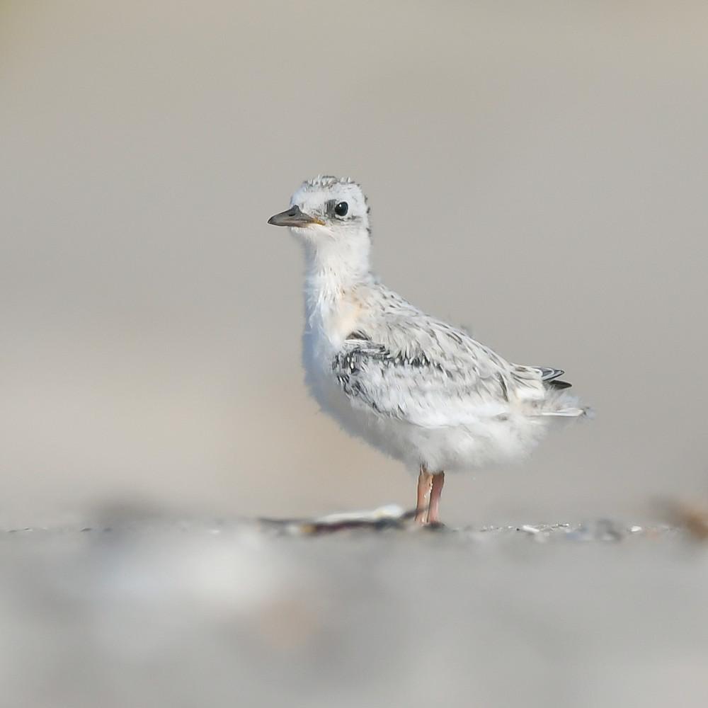Common tern chick atjp1j
