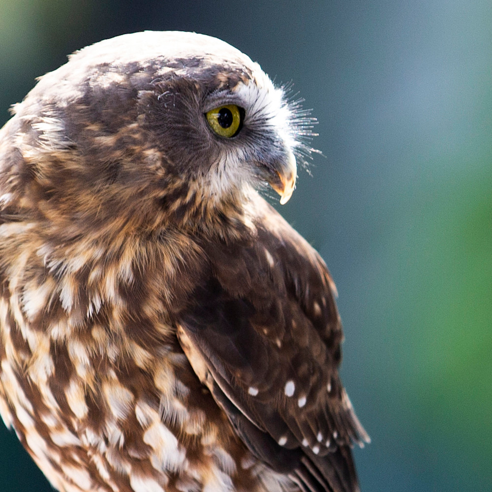 Falcon jdkakm