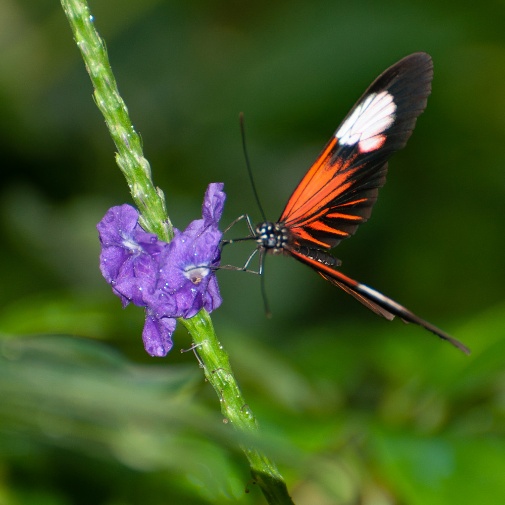 Orange and black butterfly imqos5