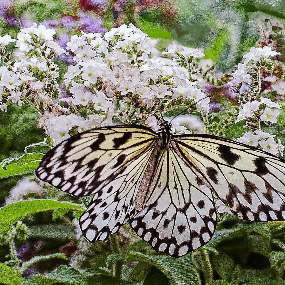 White lace butterfly lg rsoo7v