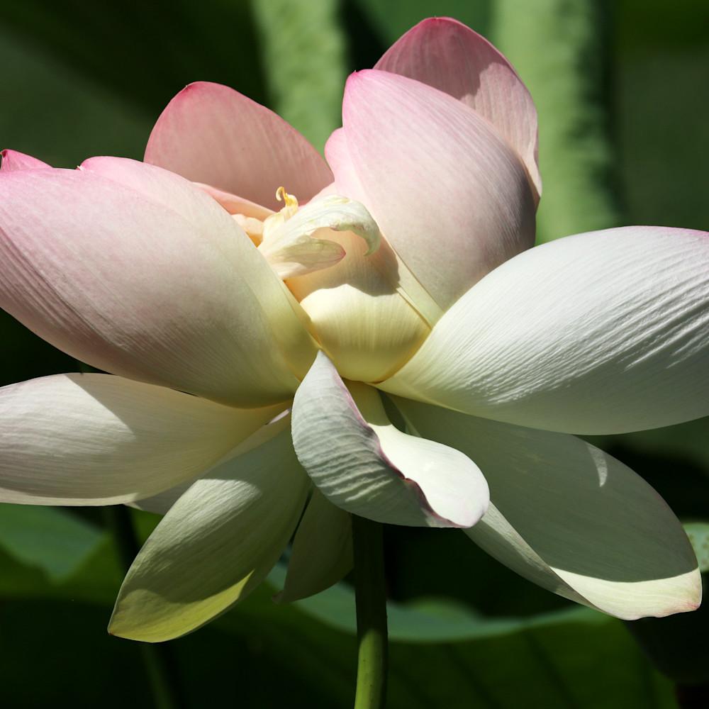 Lotusblossoms 6447 jaulbx