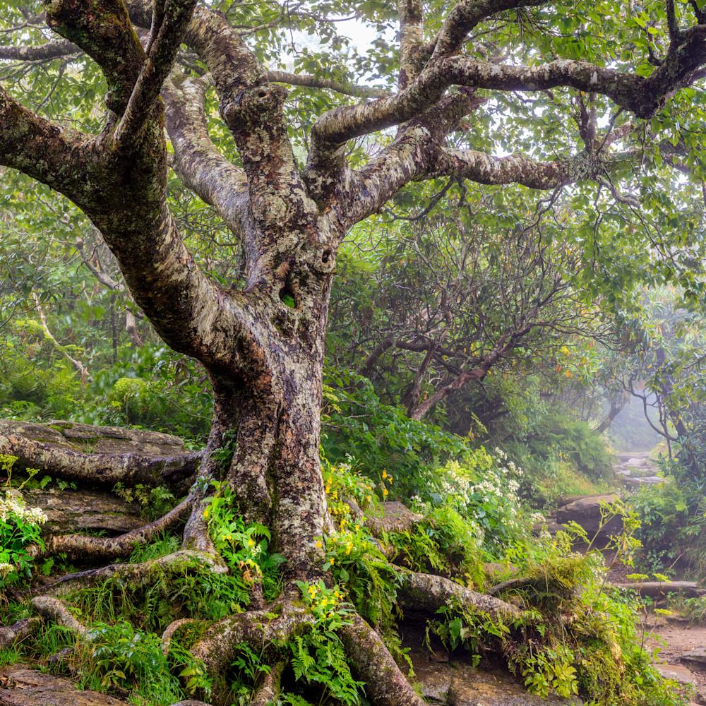 Summer birch am3t6r