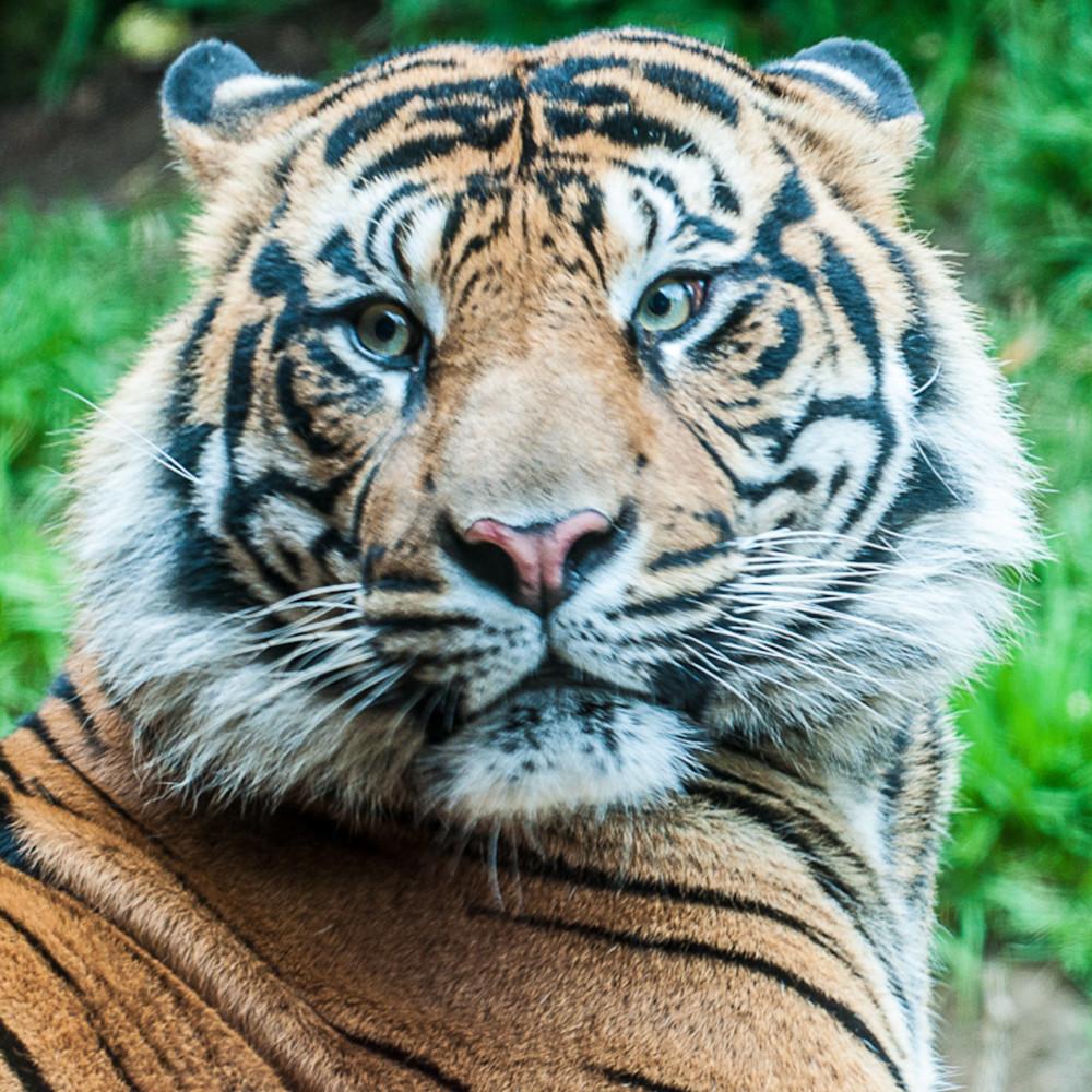 Tiger protrait m6epac