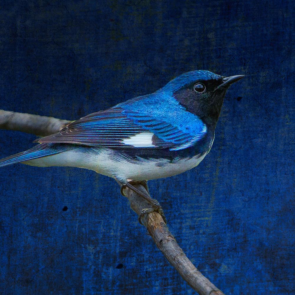 Black throated blue warbler 20150510 161258 mc 200 1 2 2 zdhnhw