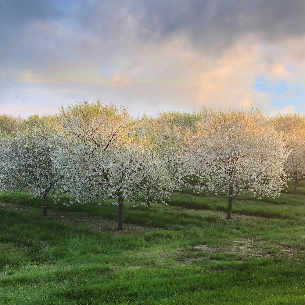 Field of cherry blossoms 941 vyjnlr