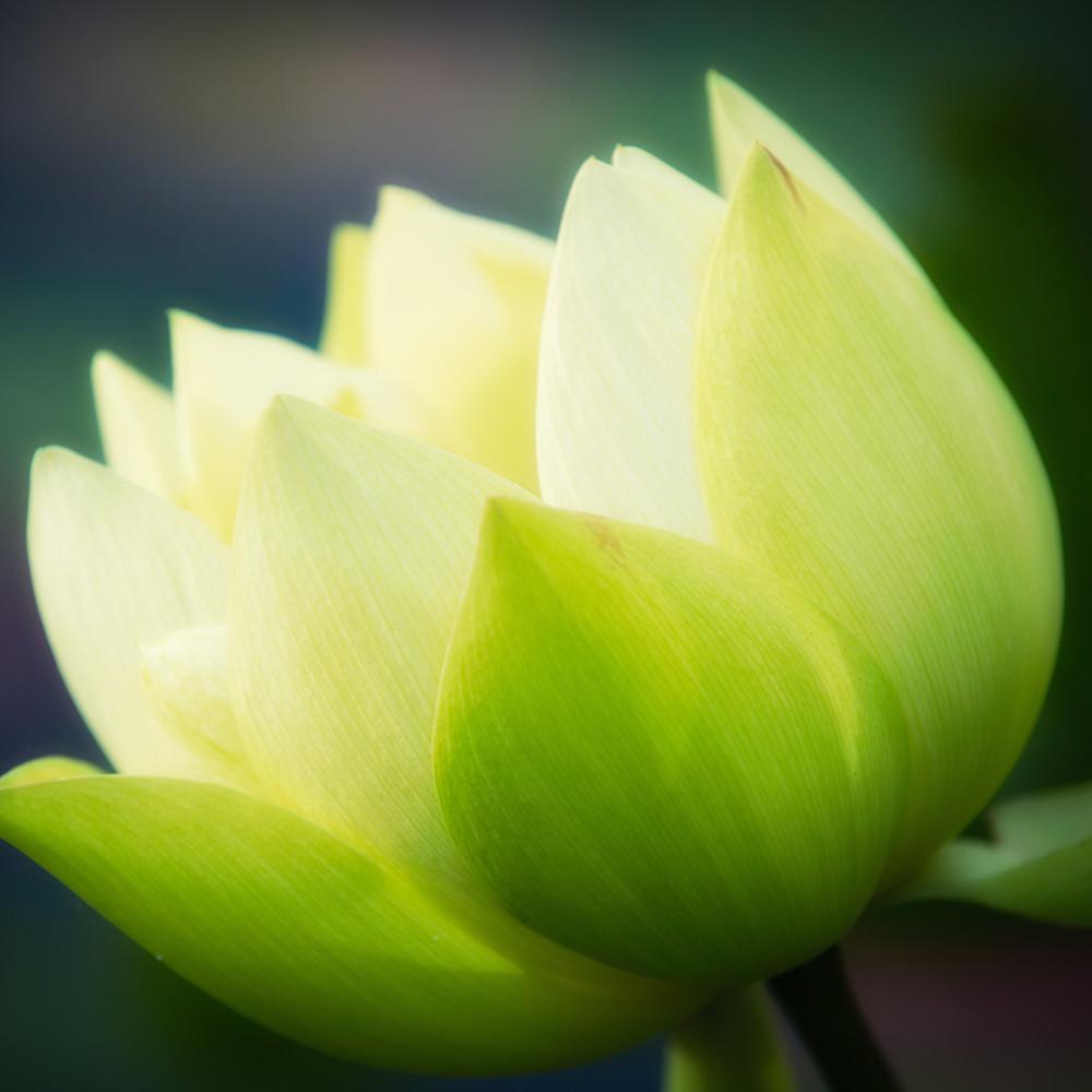 Lotus blossom 20151022 085508 mc 095 1 c5mg5g