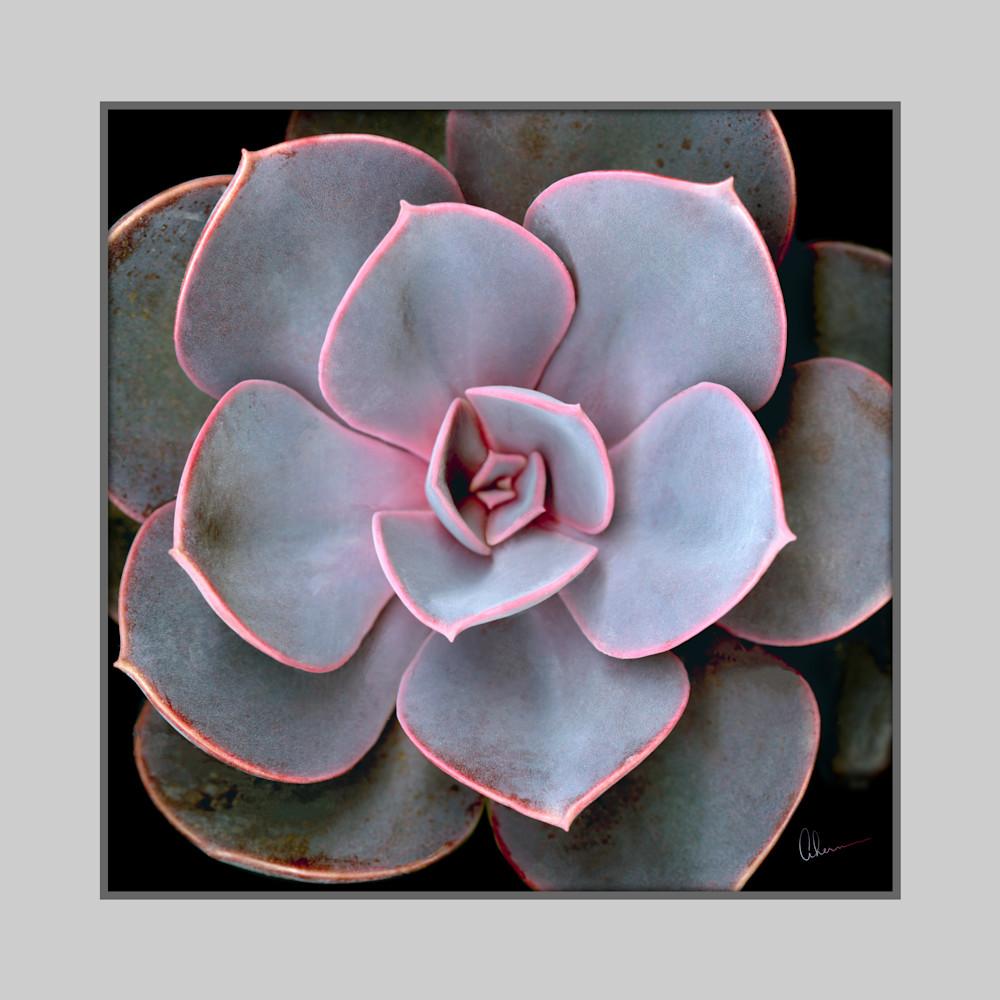 190621 ahern echeveria purple pearl squared 4 flat30x30x360 jwfdlz