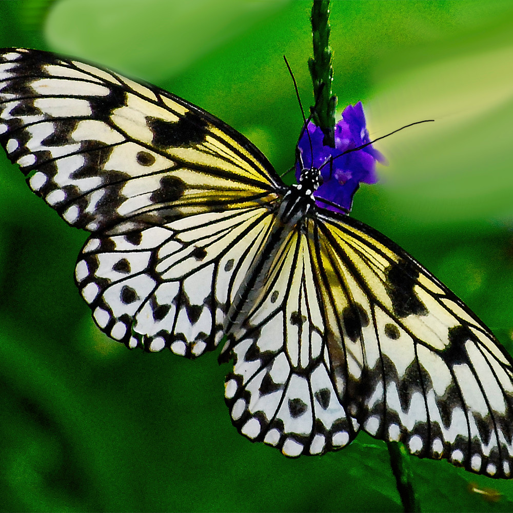 Perfect imperfection butterfly azaabw