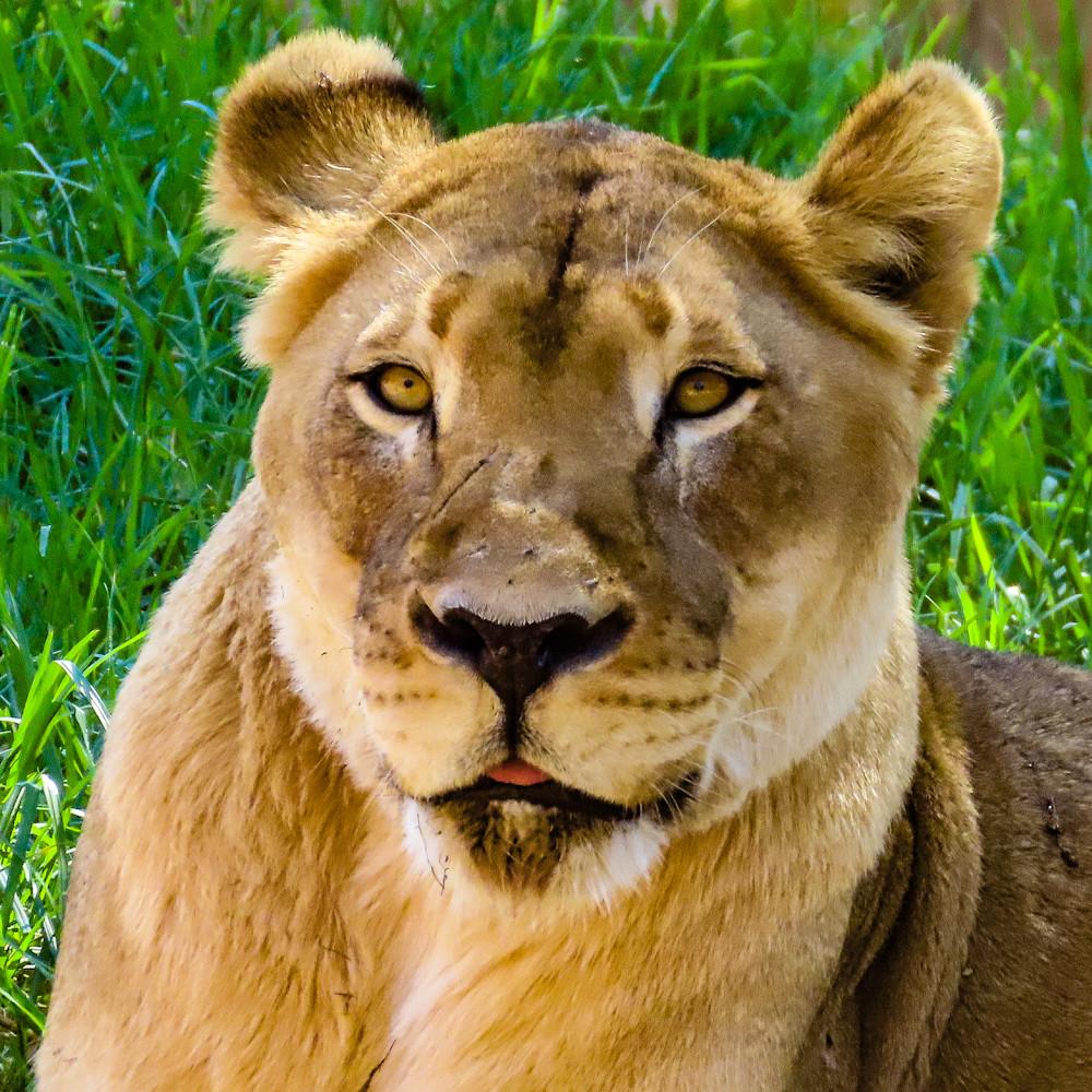 Elder lioness mv7y0k