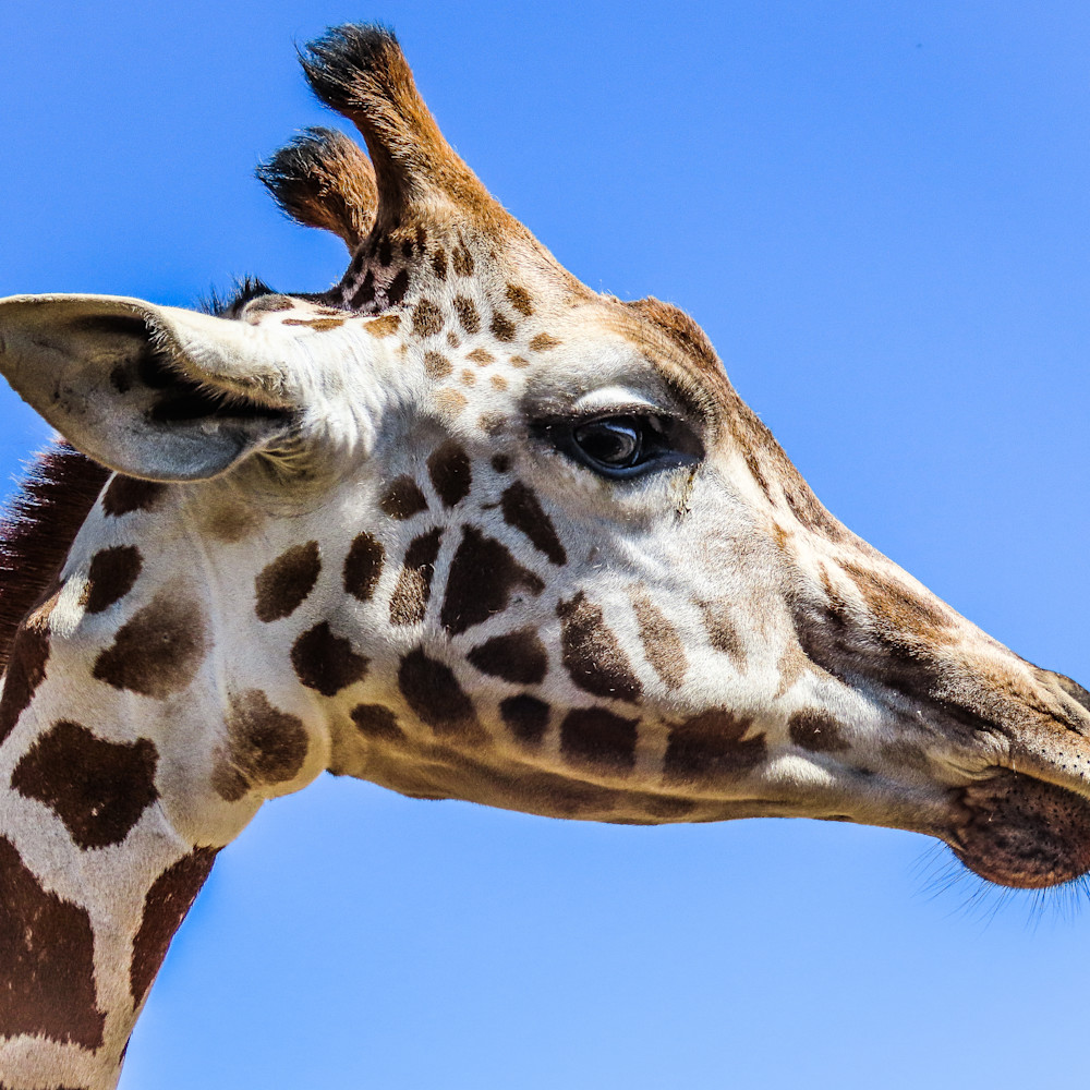 Giraffe zgownw