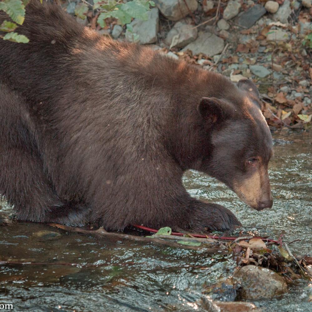Bear fish llacov