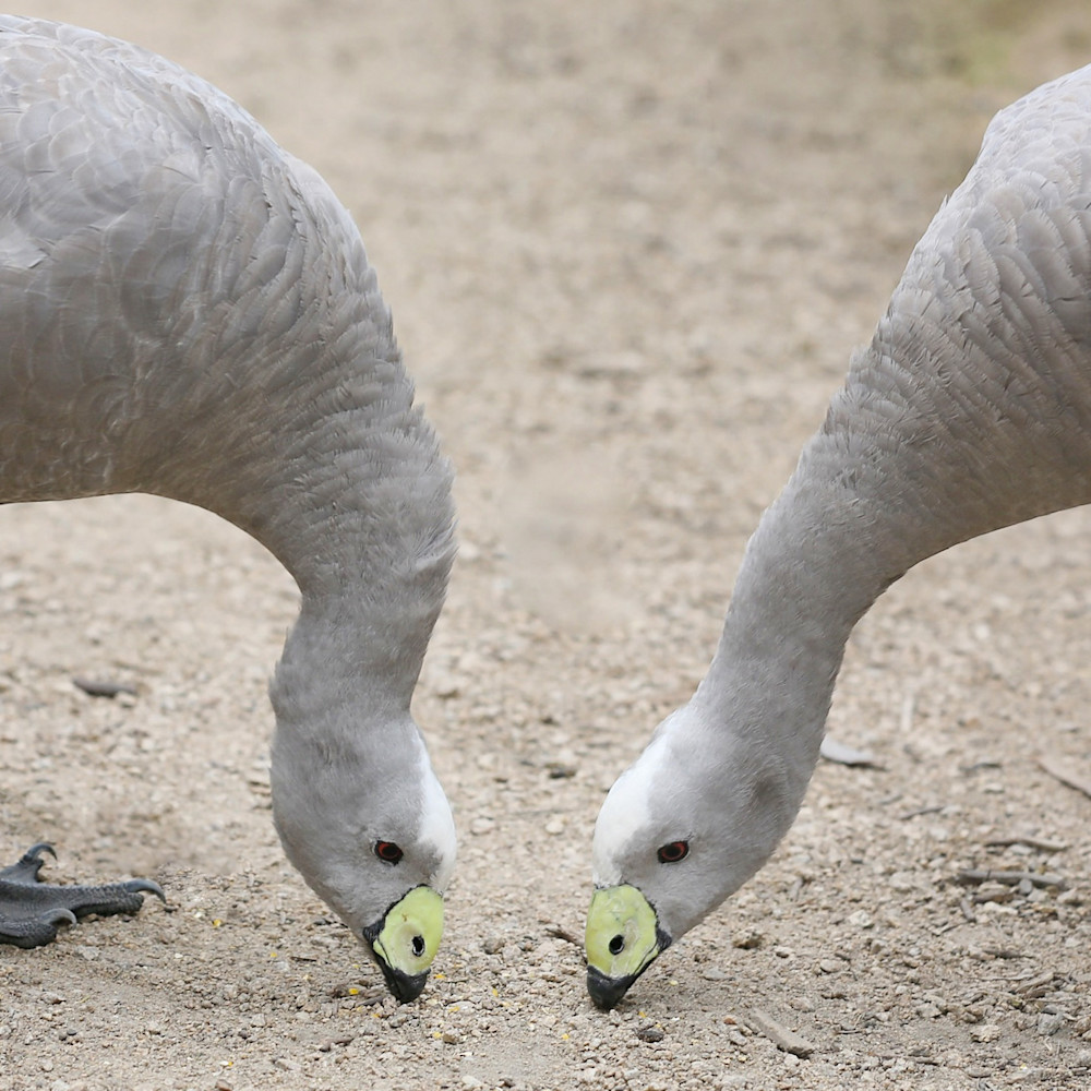 Cape barren geese ldeywb