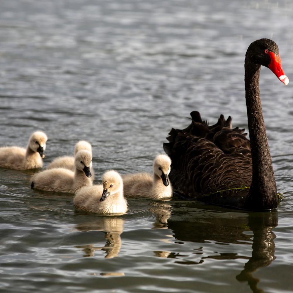 Black swan family xyu1rk