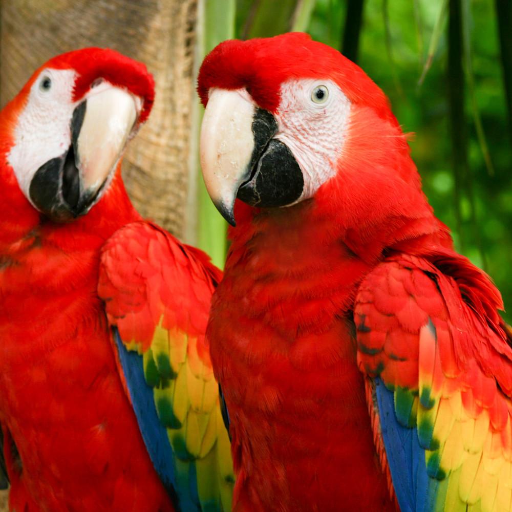 A pair of parrots bjkl8t