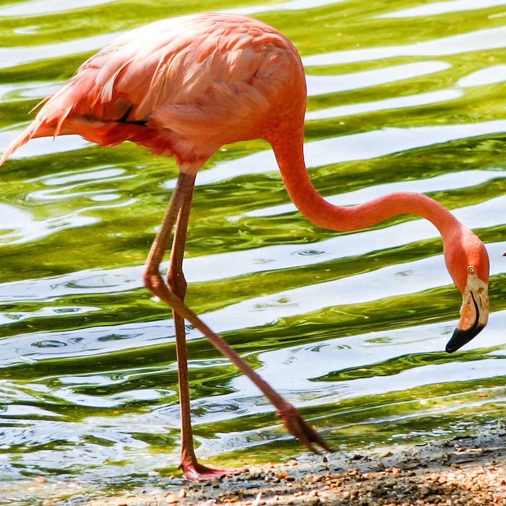Flamingo on the shore rpgty4