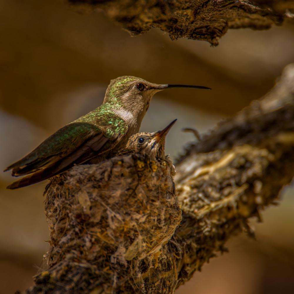 Dp476 humming bird on nest inuxme