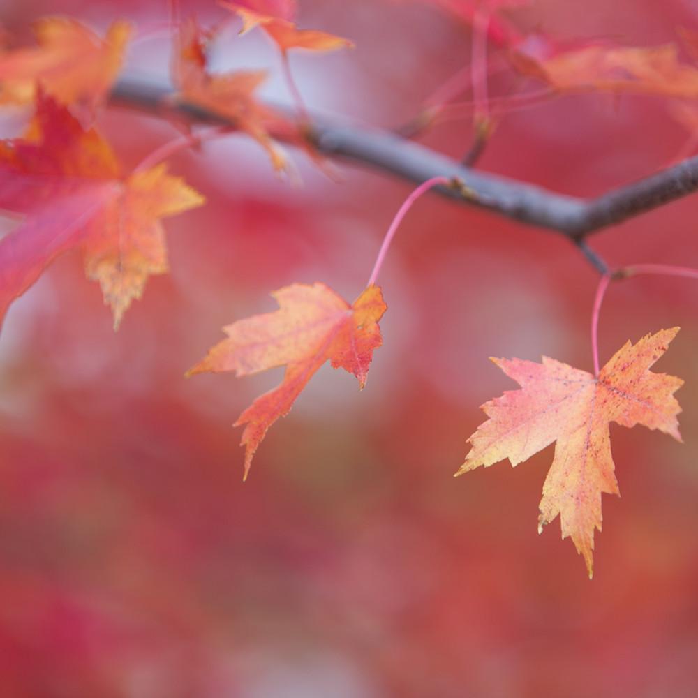 Maple leaves 46881 tt4bjc