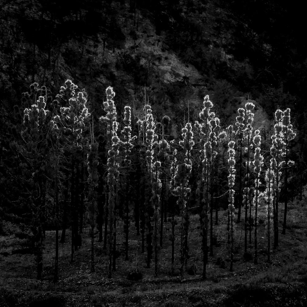 Pine tree stand big tujunga 2018 hh5ngm