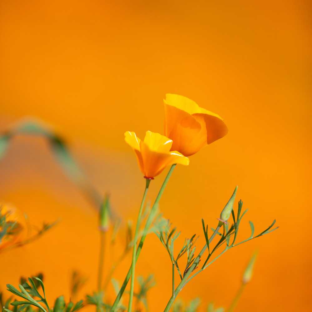 Poppies4 uc3xsq