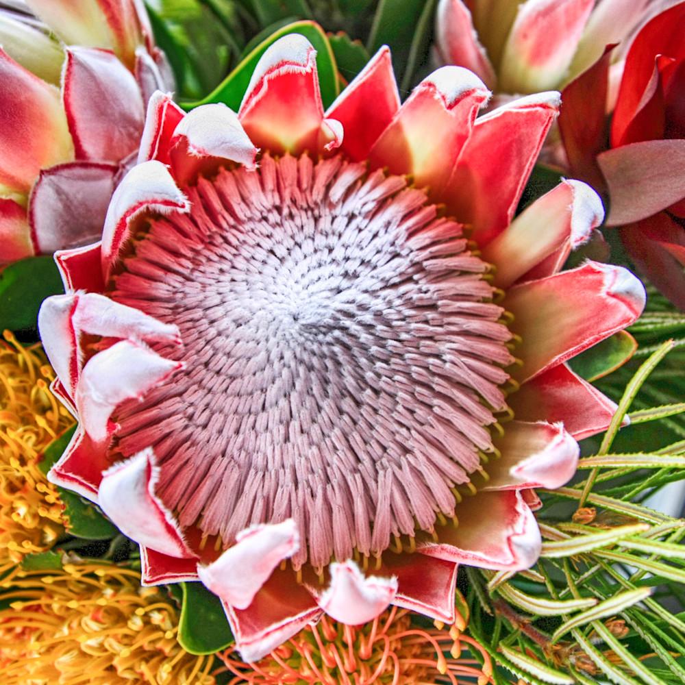 Protea 3 ilbvwq