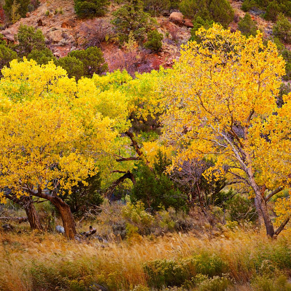 Yellow tree 1 zion panorama1 lum wyw963