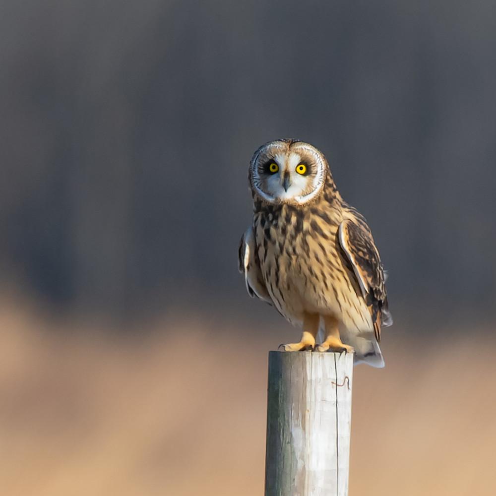 Short eared owl perched gehmea
