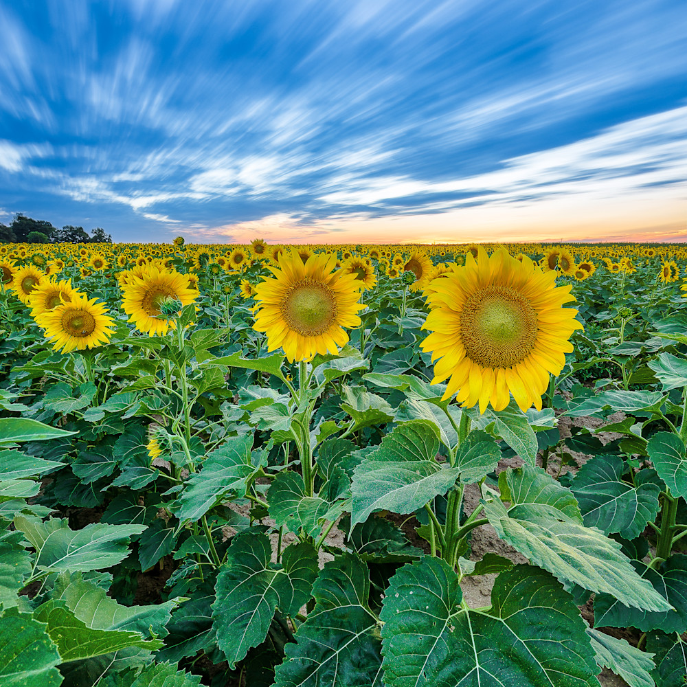 Sunflower blue iurdxs
