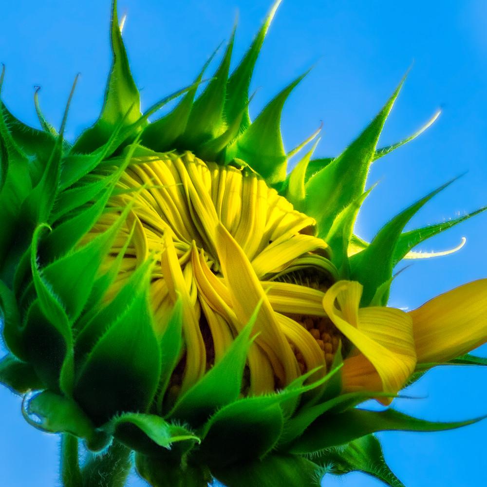 Sunflower series03 gjxotz